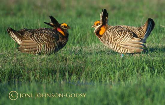 prairie-chicken-males-battling