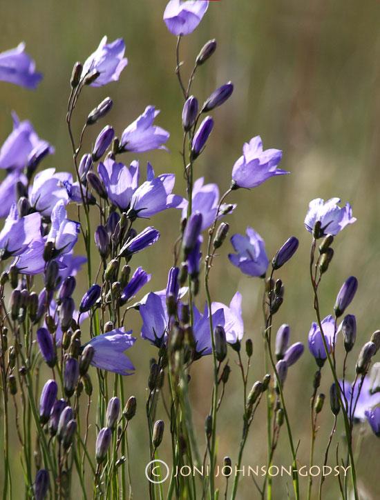 canada-flowers2