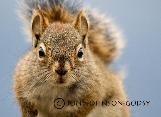 yukon-squirrel