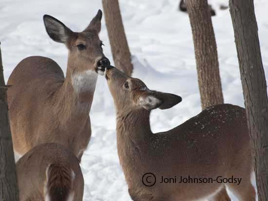 kissing-doe-and-fawn-one