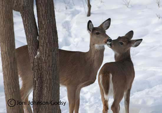 kissing-doe-and-fawn-three1