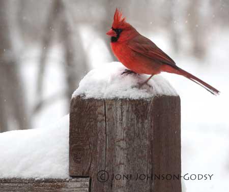 cardinal-on-deck