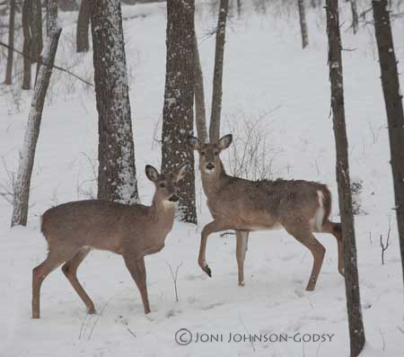 Pics Of Deer In Snow. deer-in-snow