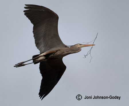 flying-heron-two