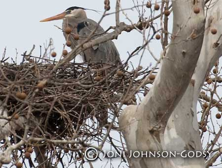 heron-on-nest