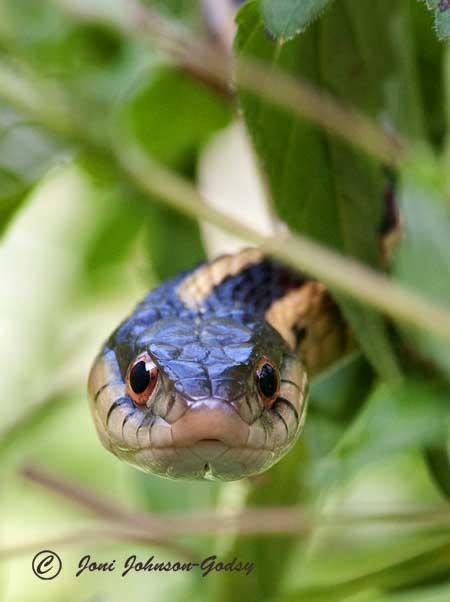 Snakes Archives Joni Johnson Godsy Wildlife Art Oil